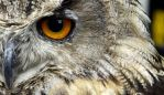 Eagle owl by khaoist