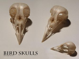 Bird skulls by xNatje-stock