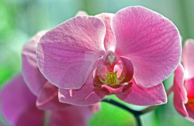 Orchid - pink on green by JHealphoto