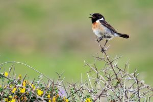 Stonechat by Satriver