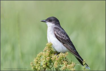 Eastern Kingbird 2 by kootenayphotos
