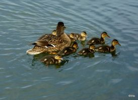 Duck family by Lionpelt-66