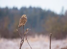 Short-eared owl lll by deseonocturno