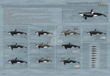 Killer Whale Ecotypes and Forms - 2013 UPDATED- by AngelMC18