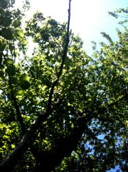 June Populus Branches by Luxia25
