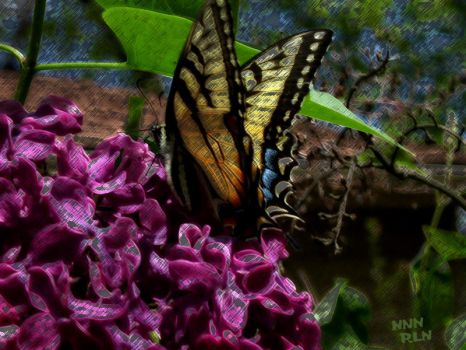 butterfly on lilac by nogggin