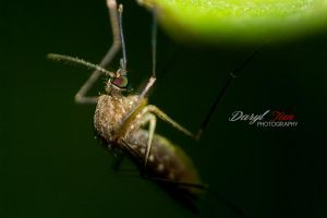 Mosquito by Dwrek