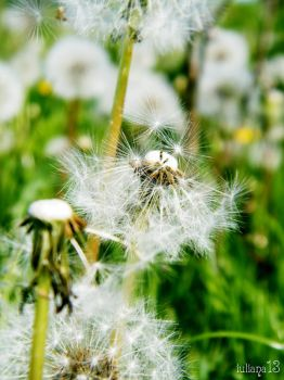 Dandelion. by iuliana13