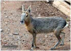 Patagonian Mara 02 by Clerdy