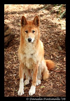 Sitting Dingo by TVD-Photography