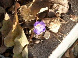Fall Crocus by Minkja