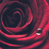 A Teardrop On The Rose II by Mfotografie