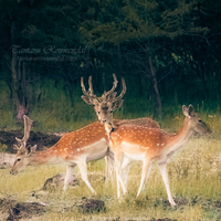 Deer Dance by TammyPhotography