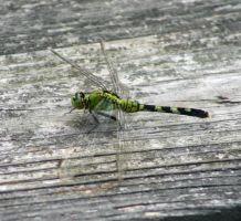 dragonfly by grumbleworts