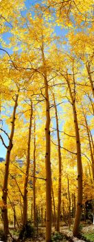 Autumn Aspen by InfiniteForests