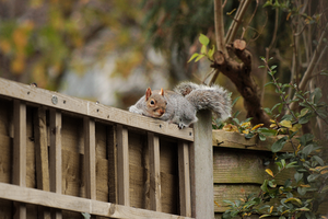 Grey squirrel, 'Sciurus carolinensis' by Sehlley