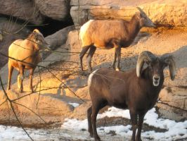 Big Horn Sheep by shinigamisgem