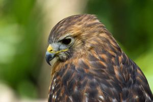 Red Shouldered Hawk by King-Dolphin