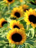 Sunflowers I by Tricia-Danby