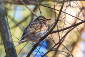 Redwing by OliverBPhotography