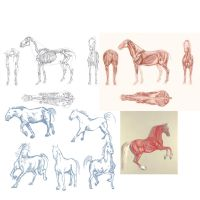 Horse Anatomy Studies by akirk