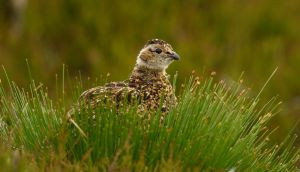 Young Grouse by NurturingNaturesGift