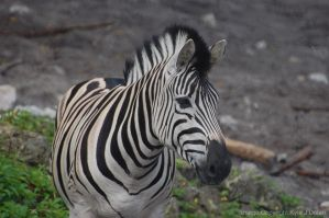 Zebra by Focus-Fire