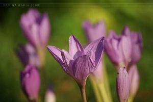 lovely flowers_93 by Marsulu