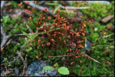 moss in blossom 2008 by Adarion