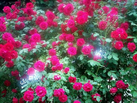 Auntie's roses by a-Soper