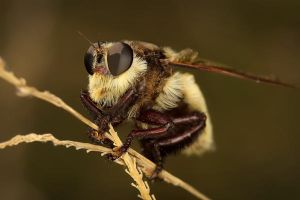 Sasquatch Robber Fly by motleypixel