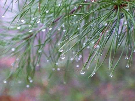 Water Drolets on Pine Needles by christiesilvers
