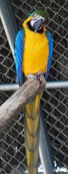 Blue and Yellow Macaw by NicamShilova
