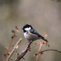 Coal Tit by BlonderMoment