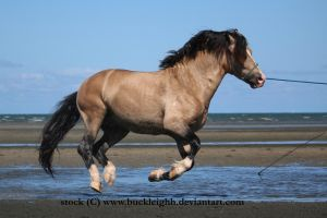 Buckskin welsh pony canter / float / fly stock 4 by buckleighh