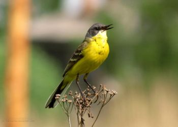 Western yellow wagtail by Valnushka