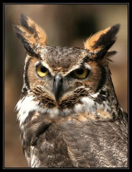Great Horned Owl 20D0024768 by Cristian-M