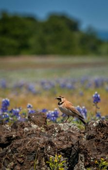Horned Lark among the blooms by kayaksailor