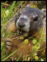 Gopher by T-Thomas