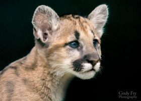 Mountain Lion Cub by lost-nomad07