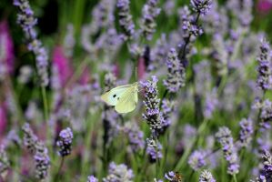 Small Cabbage White Butterfly by S4MMY4RT