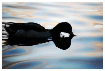 20071212: Duck on Water by ahaa