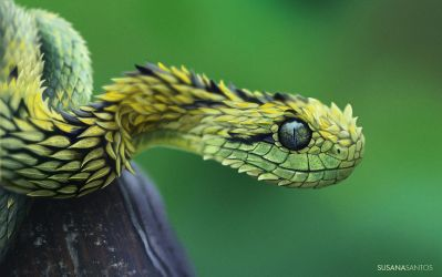 Bush Viper Study - Digital Painting by Susana-Santos