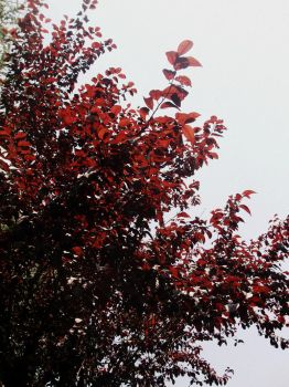 The bright red leaves by pendle-w