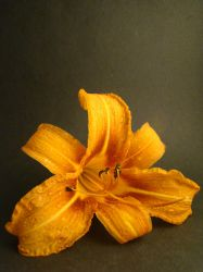 Orange Daylily- Studio by rockfrogger