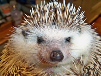 Ollie the Pet Hedgehog by Deliriousfox