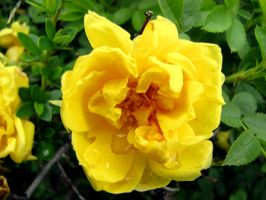 Yellow Flower by shedoesntcare