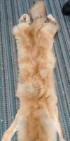 Red Coyote Pelt For Sale by SaltyPuppy