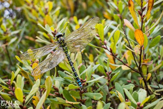 Autumn Dragonfly by EmMelody