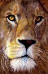 Male Lion by EquineRibbon